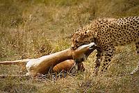 A young Cheetah with an Impala kill in the Masai Mara National Park, Kenya
