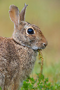 An eastern cottontail (Sylvilagus floridanus) rabbit chews on grass in the Skagit Wildlife Area on Fir Island in Washington state. The eastern cottontail is the most common rabbit species in North America.