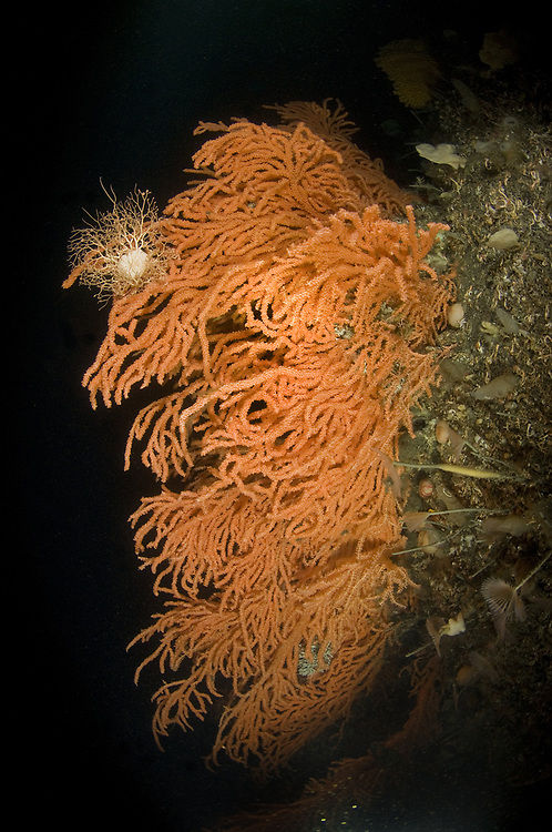 Red tree coral (Primnoa resedaeformis). Location : Trondheimsfjorden, Norway