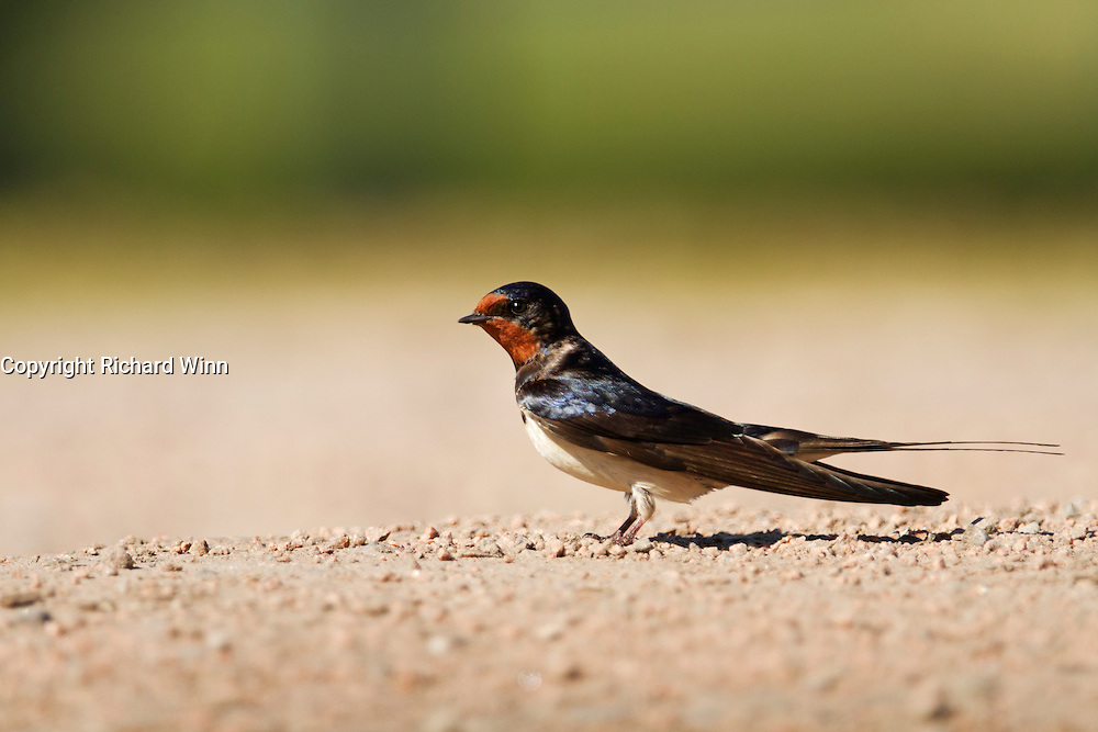 Barn or European swallow investigating a puddle to see if it is safe to bathe.