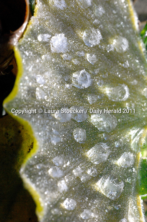 Laura Stoecker/lstoecker@dailyherald.com<br /> Frozen droplets of dew sit upon a ginko leaf in Lily Lake.