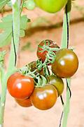 Tomatoes grow on a bush