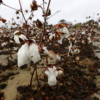 Thomas Wells | BUY AT PHOTOS.DJOURNAL.COM<br /> A rain soaked cotton boll can't be picked for weeks now in Baldwyn on Tuesday after two days of rain broke a drought that has been over North Mississippi this fall.