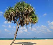 Pandanus palm trees growing on sandy beach, Nilavelli, Trincomalee, Sri Lanka, Asia