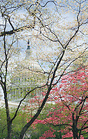 USA Capitol Dome seen through flowering trees in the Spring, Washington, DC, USA