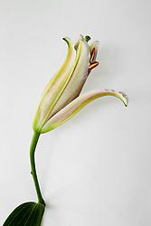 Stargazer Lily #8