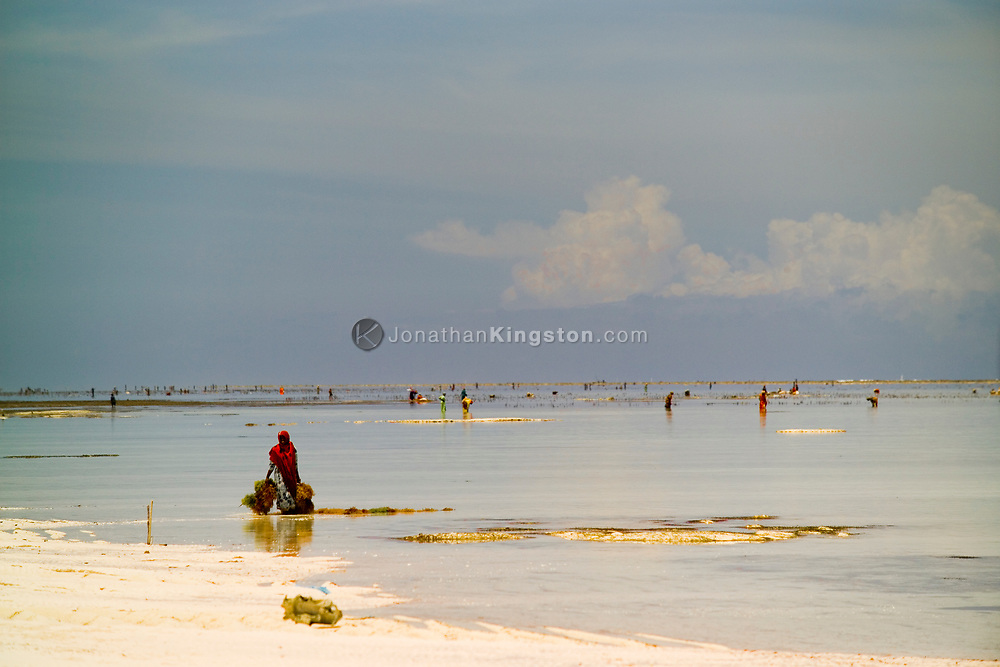 A woman carries bundles of seaweed from the Indian Ocean toward the white sand beach, Matemwe, Zanzibar, Tanzania.  Harvesting seaweed has become a new source of income for women, many of whom become the breadwinners for their family. Matemwe, Zanzibar.