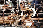 Thailand: The Illegal Dog Meat Trade