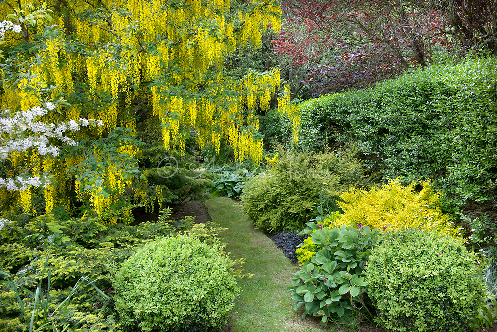 Laburnum cv in flower in the Gold Garden at Gallery, Angus, Scotland