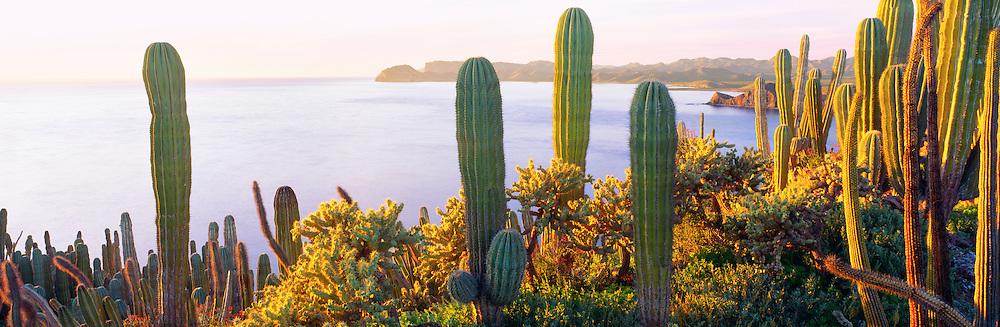 6103-1064B ~ Copright: George H.H. Huey ~ Cactus forest atop tiny Isla Cholludo [Cholludo Island[ at sunset. [Cactus include Cardon, organ pipe, cholla, and senita]. Isla Tiburon [Tiburon Island] in distance.  Sea of Cortez, Mexico.