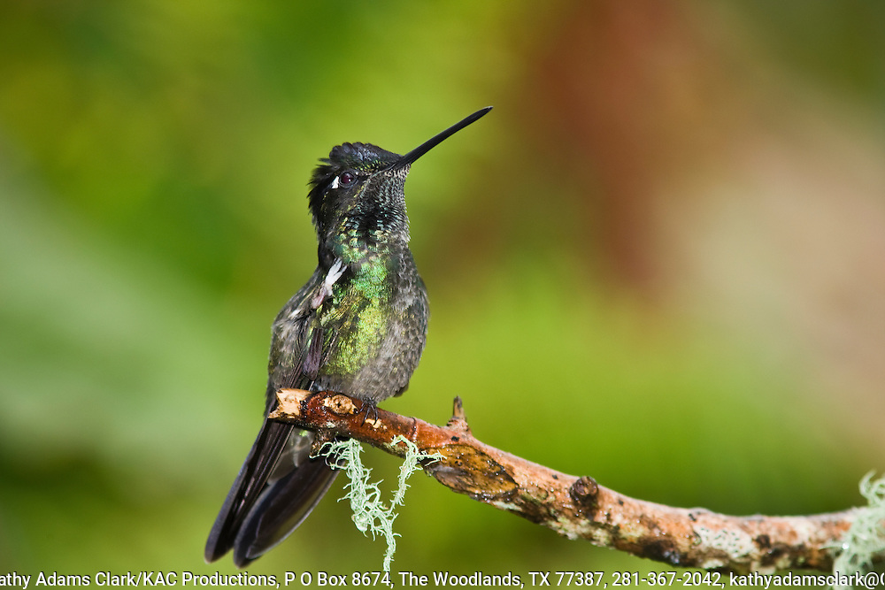 Magnificent hummingbird, male, Talamanca Mountain, south of San Jose, Costa rica.