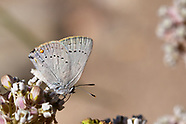 Satyrium sylvinus dryope - Sylvan Hairstreak