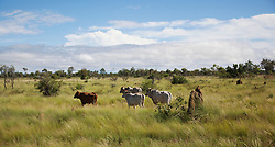 Cattle graze on green pasture in the Kimberley wet season.