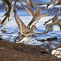 A flock of semipalmated sandpipers (Calidris pusilla) feeding on horseshoe crab eggs take flight in response to an aerial predator, Port Mahon, Delaware.