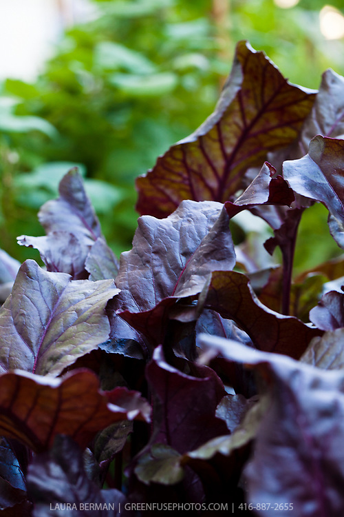 The dramatic, dark, red leaves of Bull's Bllod beets.