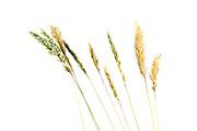 Gewöhnliche Ruchgras (Anthoxanthum odoratum) Den Beinamen odoratus sowie die deutsche Bezeichnung Ruchgras erhielt es wegen seines charakteristischen Cumarin-Duftes. Es wird daher auch in der Schweiz Geruchgras genannt. | sweet vernal-grass, sweetscented vernal grass (Anthoxanthum odoratum)