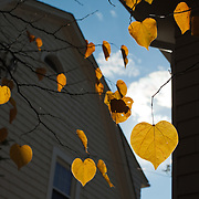 Heart-shaped leaves, lit by the sun, hang on tree branches close to a house