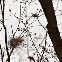 Great Blue herons nesting in an Ontario woodlot. (Ardea herodias)