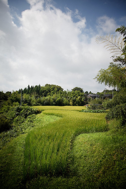 Sado island, August 2010 - Rice fields.