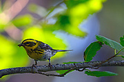 A female townsend's warbler takes insects to feed to a newly fledged chick in an old-growth western larch forest. Yaak Valley in the Purcell Mountains, northwest Montana.