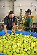 Sonoma Cider apple harvest, Healdsburg, California
