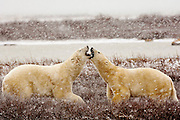 CANADA, Churchill (Hudson Bay).Polar bears (Ursus maritimus) confronting one another