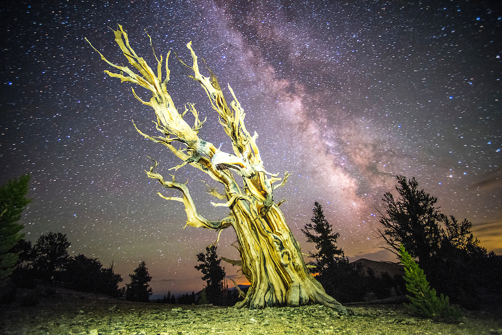 Milky Way over Bristlecone Pines:<br /> 1. July 11th, 2015 <br /> 2. Yes, I have RAW file, included,  full size resolution 36 megapixels, 7360 &times; 4912 pixels<br /> 3. Patriarch Grove, Ancient Bristlecone Pine Forest (Specially protected area in the White Mountains of Inyo County CA) <br /> 4. Stuart Palley is the photographer. <br /> <br /> 5. The Milky Way rises over the Ancient Bristlecone Pine Forest at Patriarch Grove high in the White Mountains east of Inyo, CA July 11th, 2015. The Ancient Bristlecone Pine is the oldest living non-clonal organism on earth with some dated at over 5,000 years old. The area is at 11,000 feet and requires miles of travel on a dirt trail. Even in the summer evening temperatures regularly hover around freezing. With the wind-chill temperatures can easily dip into the 20s.