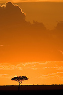 Acacia Tree Silhouette and Sunset in Masari Mara, Kenya