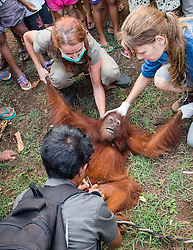 Ael the 4 year-old Orangutang. <br /> Ael the 4 year-old orangutang who was caught in a village in West Kallimantan after her mother was killed by poachers. Tied to the ground by a cable around her waist, this wild orangutan was surrounded by a huge crowd of local people in the remote village of Tempurkan in West Borneo. The terrified creature was the object of great excitement and hilarity for the men, women and children who gathered around her, laughing and cheering as they taunted and teased her.<br /> She was rescued by Sussex based charity International Animal Rescue after one of the villagers contacted their local Human-Orangutan conflict team. She is now in the IAR rehabilitation centre in Ketapang, the hope is she will be released back into the wild, Wednesday, 28th August 2013. Picture by Roger Allen / i-Images