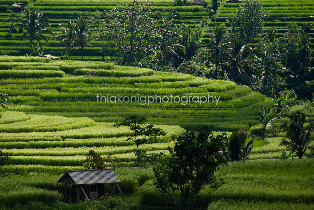 Terraced rice fields with home and lush palm trees, Ubud, Bali