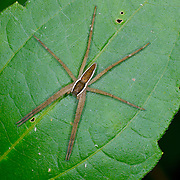 Nursery web or fishing spider.Family: PISAURIDAE at Khao Ang Rue Nai wildlife sanctuary in the Eastern Forests of Thailand