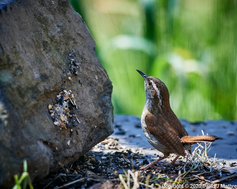 Carolina Wren.  Image taken with a Nikon D5 camera and 600 mm f/4 VR telephoto lens (ISO 1100, 600 mm, f/5.6, 1/1250 sec).