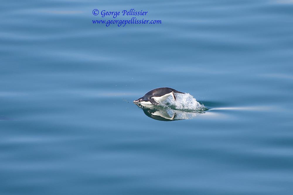 Adele Penguin, Ross Sea, Antarctica