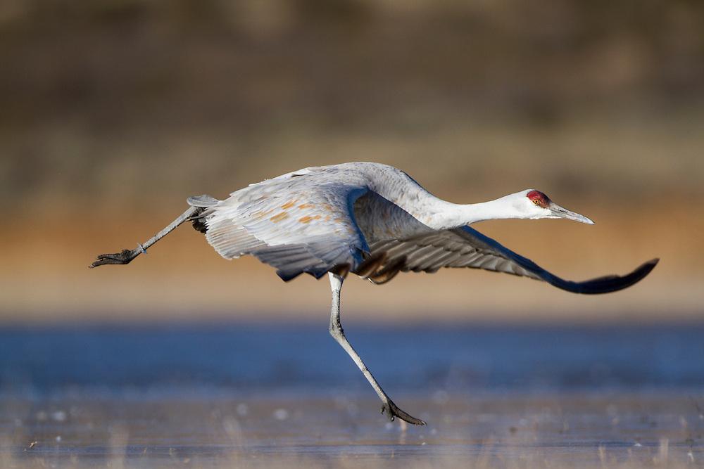 USA, New Mexico, Bosque del Apache National Wildlife Refuge, Sandhill Crane (Grus canadensis) runs to take flight on frozen lake along Rio Grande Valley on winter dawn