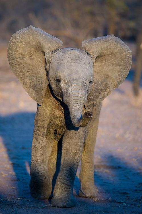 African elephant baby (Loxodonta africana) trying to impress