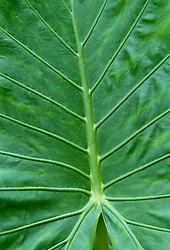 Alocasia leaf - Elephant's ear plant