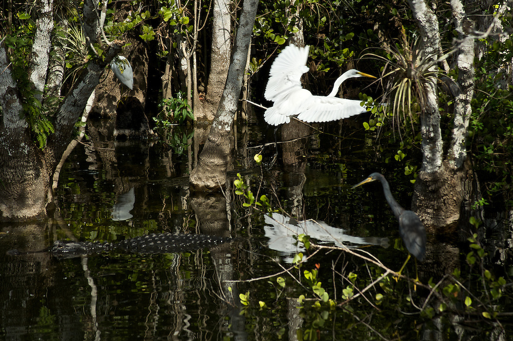 A White Heron and a Great Blue Heron are wary around an alligator in the swamps of the Everglades