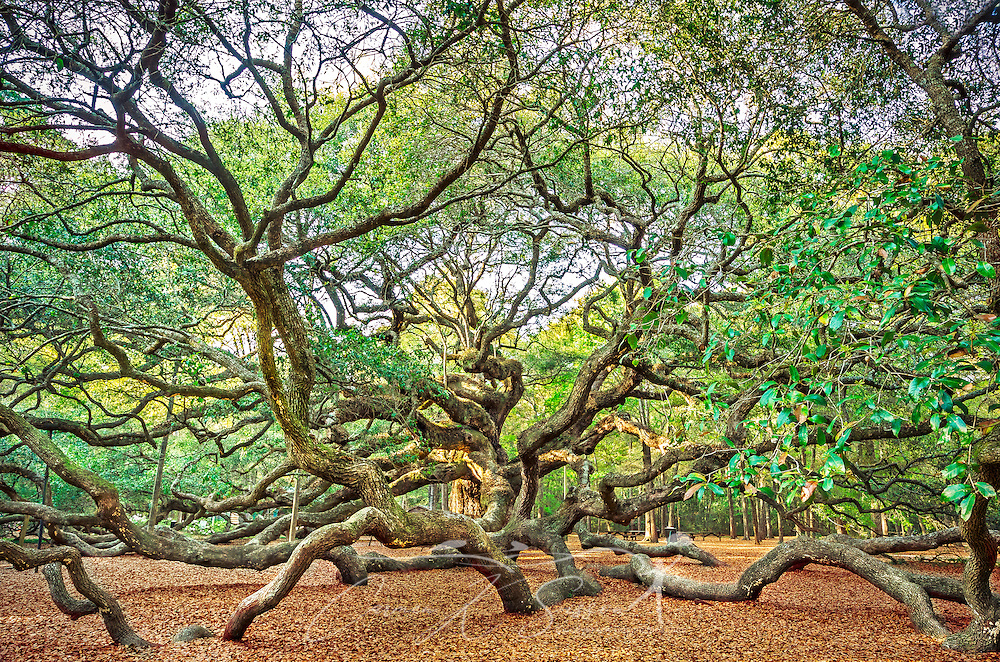The sun sets on the Angel Oak, April 3, 2015, on Johns Island near Charleston, South Carolina. The live oak is believed to be more than 1,500 years old, ranking it among some of the oldest living things east of the Mississippi River. The tree is more than 65 feet high, with a circumference more than 25 feet wide, and a canopy of more than 17,000 square feet. The tree is named for its previous owners, Justus Angel and Martha Waight Tucker Angel, and is now owned by the City of Charleston. It was severely damaged during Hurricane Hugo but has since recovered. (Photo by Carmen K. Sisson/Cloudybright)