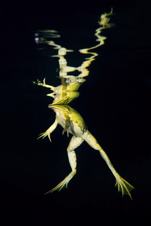 Reflection of a pool frog (Pelophylax lessonae) at night, Danube Delta, Romania.