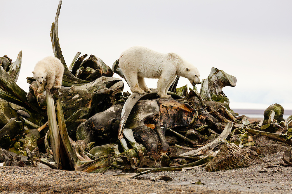 Mother polar bear (Ursus maritimus) and cub looking for scraps of food among the whale bone pile on Barter Island near Kaktovik in the Arctic National Wildlife Refuge in the Far North of Alaska. Autumn. Afternoon.