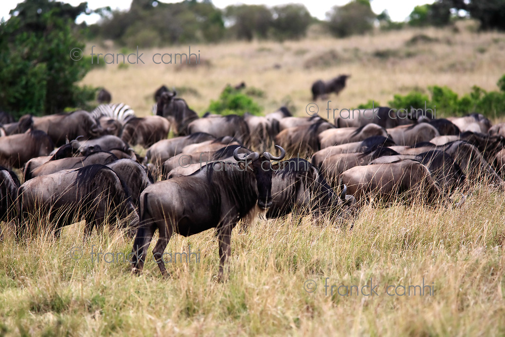 Wildebeest grazing  in the beautiful reserve of masai mara in kenya africa