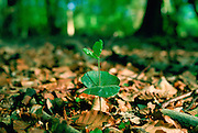 A young beech tree seedling sprouting among dead leaves in the New Forest in Hampshire, England