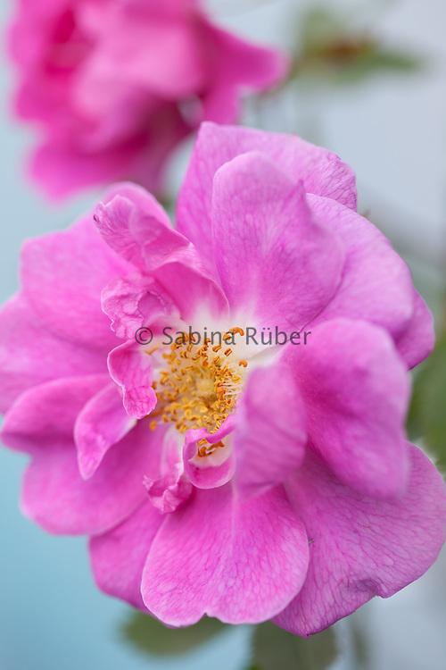 Rosa californica 'Plena' - wild rose