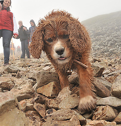 Wet as a Dog...... Despite the conditions 6 year old George King Charles Dog from Ballinasloe made it up Croagh Patrick on Reek sunday.<br /> Pic Conor McKeown