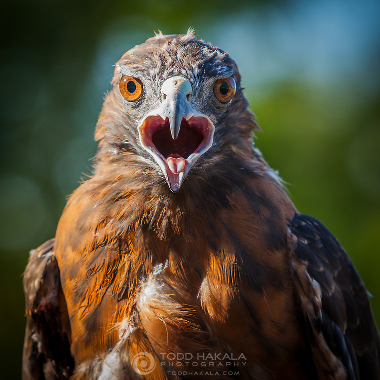 A female Dark Morph Red Tailed Hawk (Buteo jamaicensis) In the care of Wildlife Rescue, Inc. of New Mexico. http://www.wrinm.org
