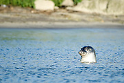 Harbour seal (landselur - Phoca vitulina) is the most common seal in Iceland