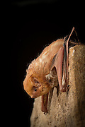 An eastern red bat (Lasiurus borealis) photographed at night in the Cherokee National OFrest, Tennessee.
