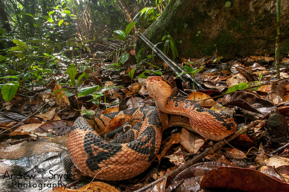 Bushmaster (Lachesis muta) in Kanuku Mountains, Guyana