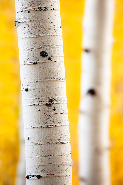 Aspen trees in fall color near Crested Butte, Colorado.