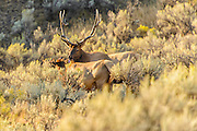 Bull Elk Licking  a Doe Elk